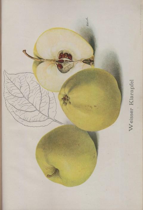 Bild: Bildtafel zum Weisser Klarapfel im Buch Unsere besten Deutschen Obstsorten Band I: Äpfel von 1923.