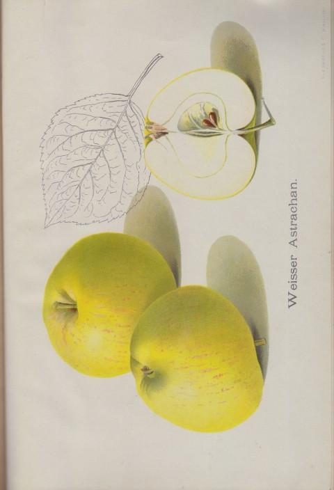 Bild: Bildtafel zum Apfel Weisser Astrachan im Buch Unsere besten Deutschen Obstsorten Band I: Äpfel von 1923.