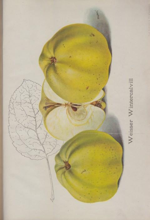 Bild: Bildtafel zum Apfel Weisser Wintercallvill im Buch Unsere besten Deutschen Obstsorten Band I: Äpfel von 1923.