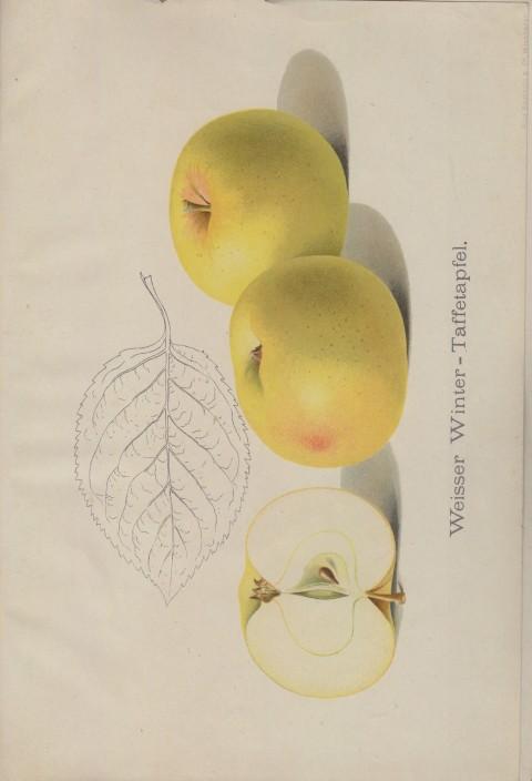 Bild: Bildtafel zum Weisser Winter-Tafelapfel im Buch Unsere besten Deutschen Obstsorten Band I: Äpfel von 1923.