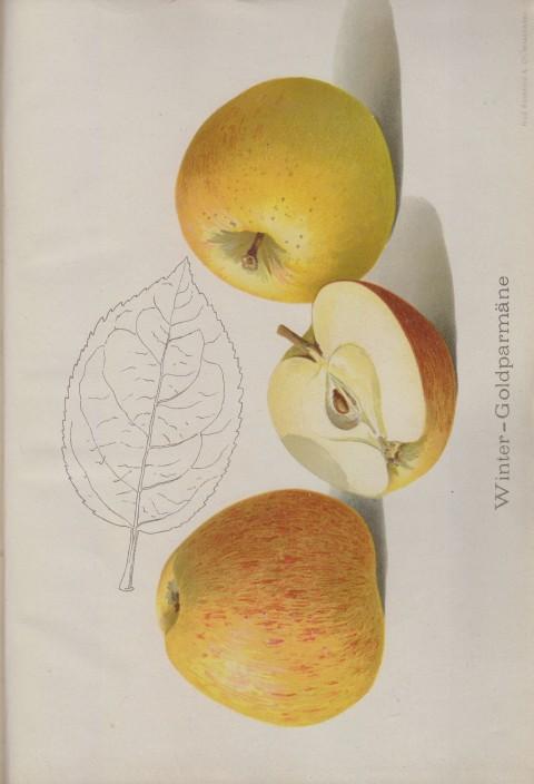 Bild: Bildtafel zum Apfel Winter-Goldparmäne im Buch Unsere besten Deutschen Obstsorten Band I: Äpfel von 1923.